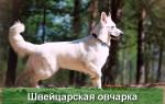 Белая Швейцарская Овчарка — описание породы