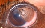 Дермоид — эпителиальная опухоль у собаки на глазу