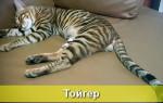 Тойгер: порода кошек