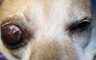 Глаукома у собак — причина помутнения глаз