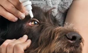 Лекарства и капли при заболеваниях глаз у собак
