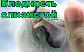 Анемия у кошек – симптомы и лечение