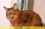 Сомалийская кошка: характеристика породы