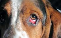Синдром красного глаза у собак