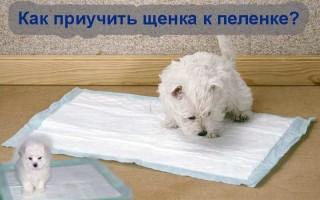 Как собаку приучить к туалету на пеленку