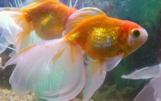 Золотая рыбка: особенности разведения