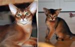 Чем промыть глаза кошке