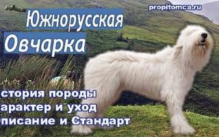 Южнорусская овчарка: описание породы