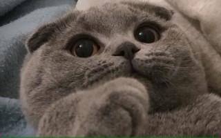 Шотландская вислоухая кошка — описание породы