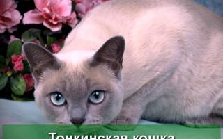 Тонкинская кошка: описание породы