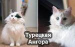 Турецкая ангора: описание породы