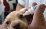 Конъюнктивит у собак – диагностика и лечение