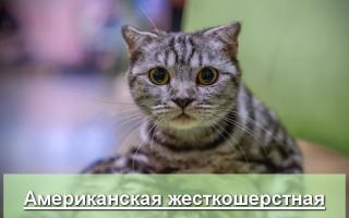 Американская жесткошерстная кошка