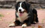 Австралийские породы собак: аусси, келпи, силки терьер