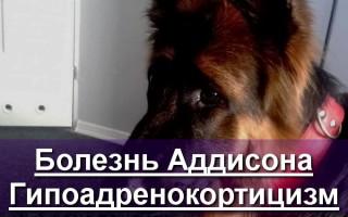 Болезнь Аддисона у собак, или гипоадренокортицизм