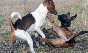 Что делать если собака кидается на других собак?