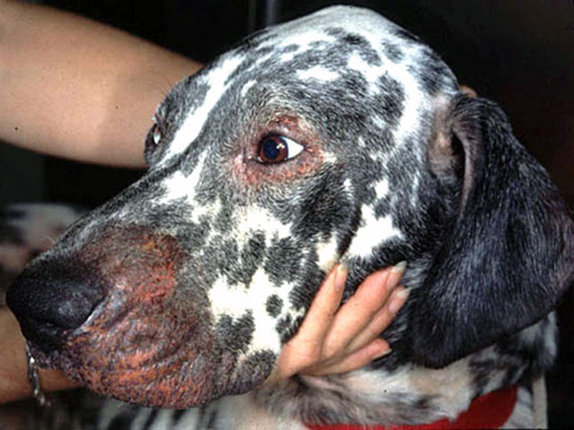 Сыпь на морде у собаки