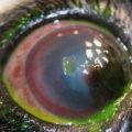 Проба флюоресценином при язвенной болезни глаза