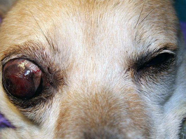 Мутные глаза у собаки – как лечить глаукому?