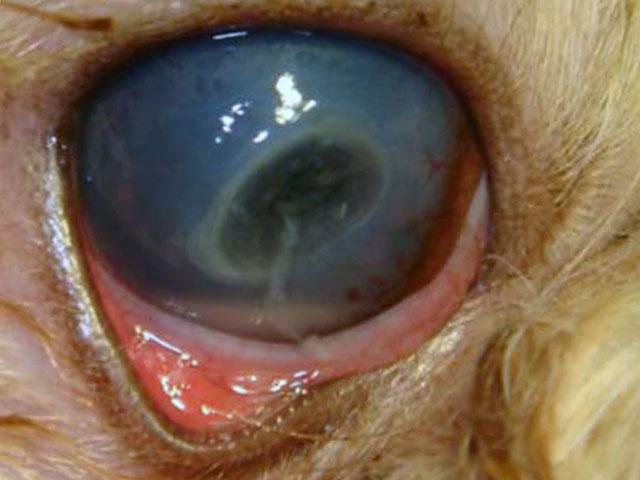 Белая пленка гноя на глазе у собаки