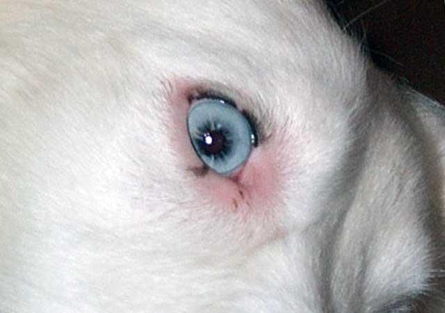 недоразвитые веки у собаки