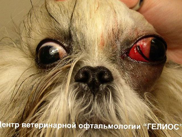 Картинки собаки у которой выпадают глаза