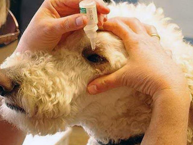 Лечение глаз у собаки
