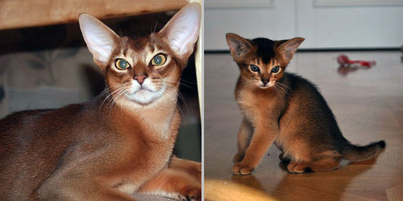 Дикий окрас абессинской кошки