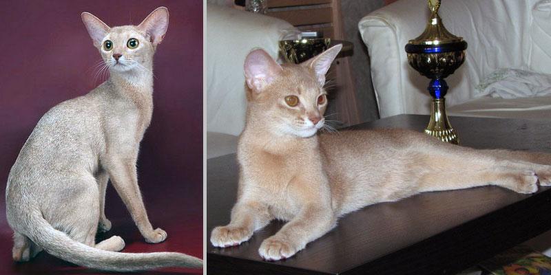 Абиссинская кошка цвета косули