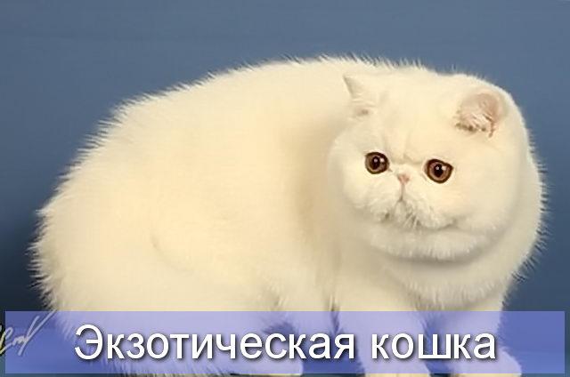 Экзотическая белая кошка