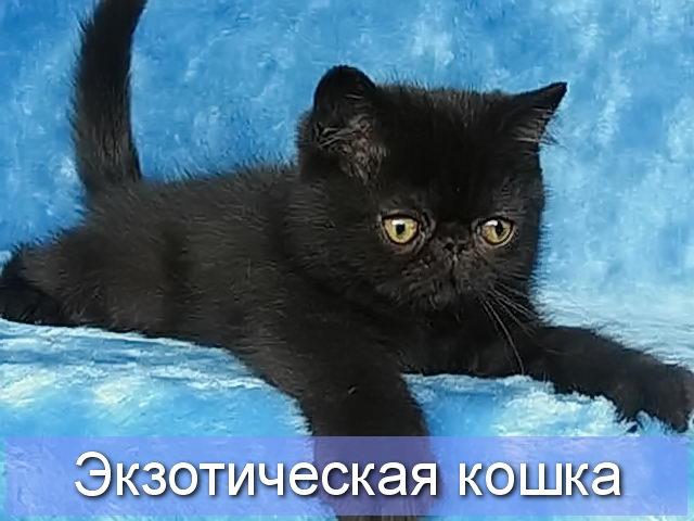 Дымчато-шоколадная экзотическая кошка