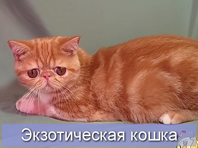 Экзотическая кошка красного камео