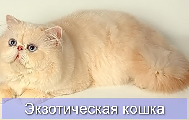 Экзотическая кошка кремового камео или Экзотическая кошка кремового затушеванного камео
