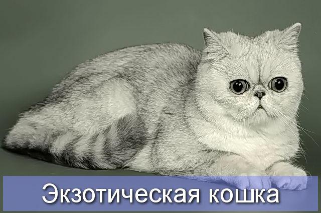 Лиловая черепахово-дымчатая экзотическая кошка
