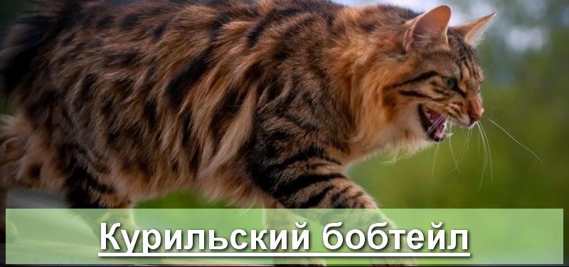 Кошка породы курильский бобтейл