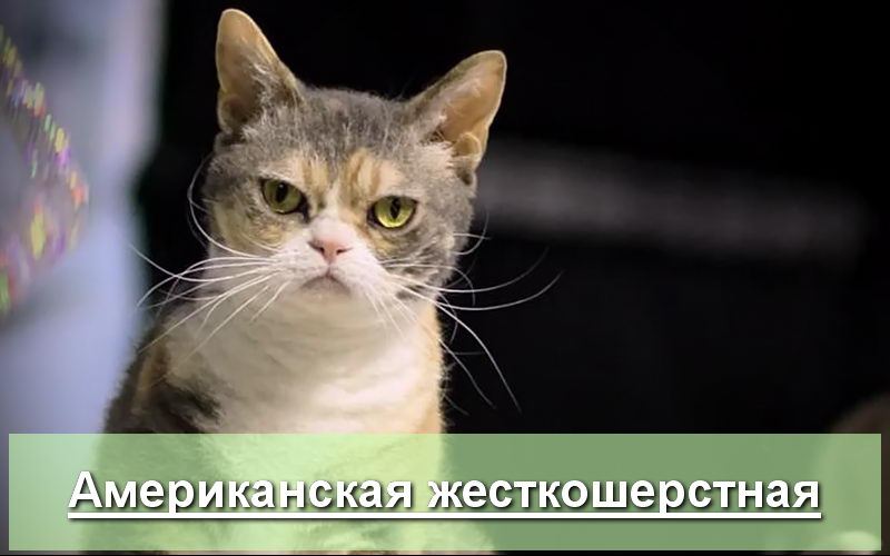 Американский жесткошерстный кот