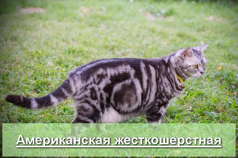 Беременная американская жесткошерстная кошка