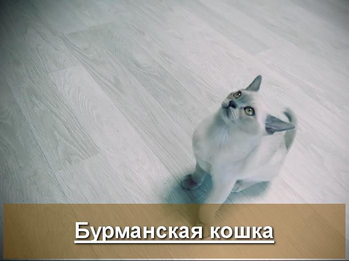 Бурманская кошка голубого окраса