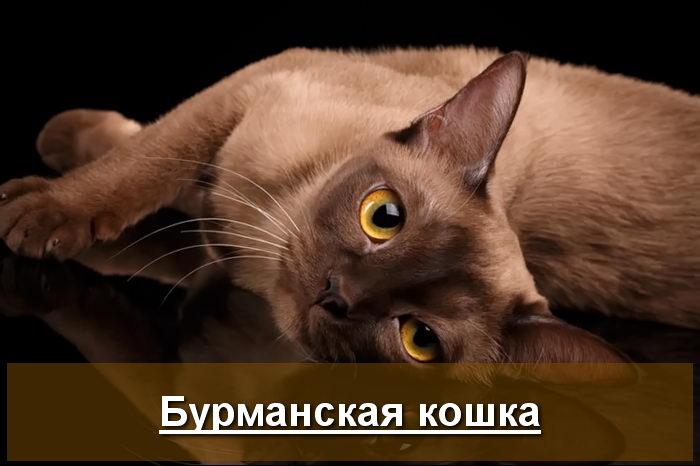бурманская кошка фото шоколадного окраса