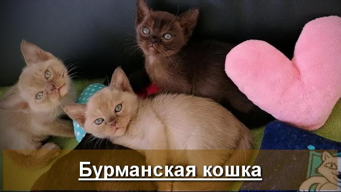 Медовые бурманские котята