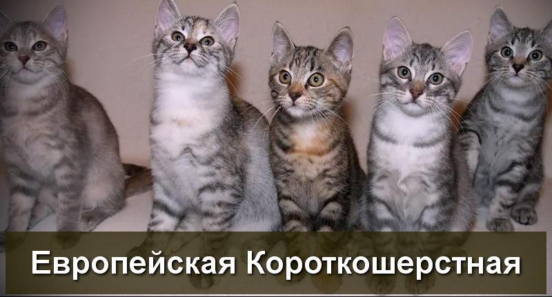 котята европейской короткошерстной породы