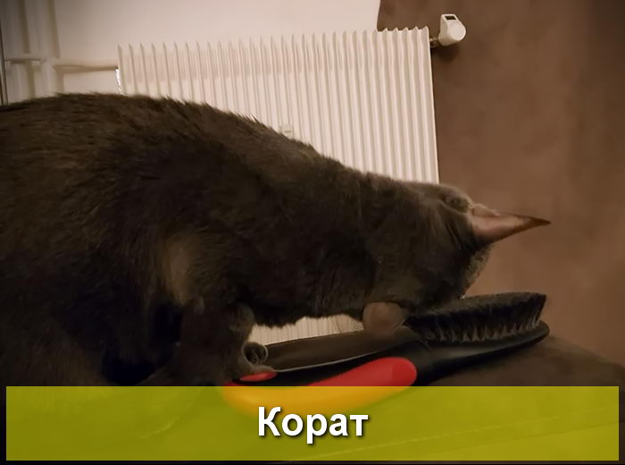 кошка корат уход