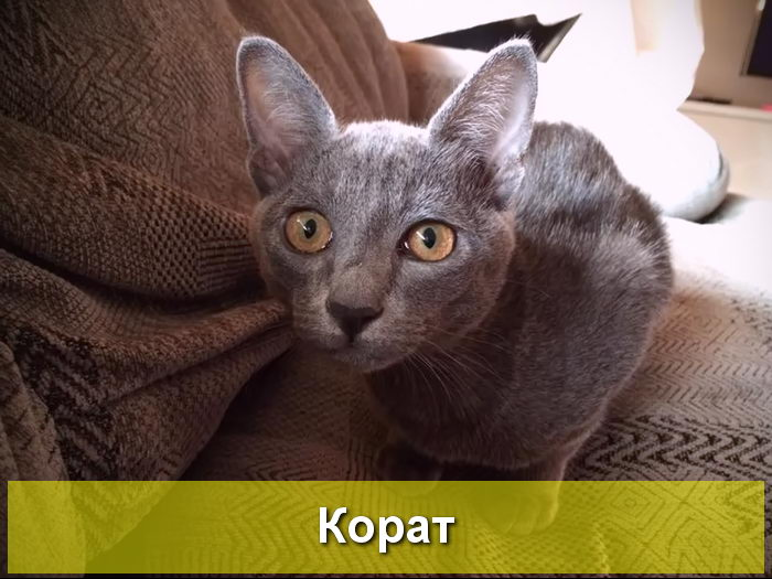 фото кошки породы корат