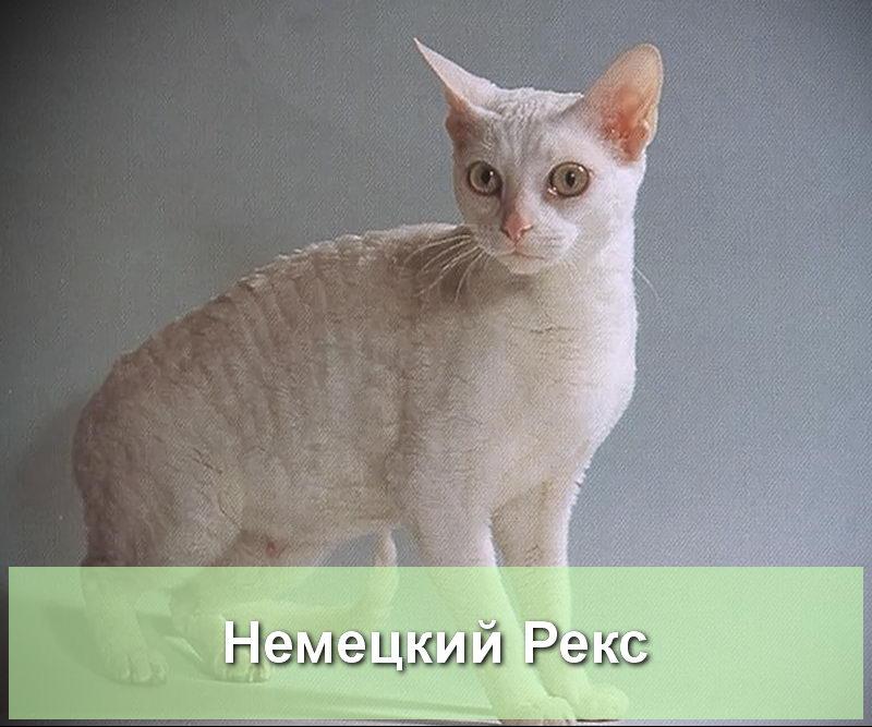 кошка немецкий рекс