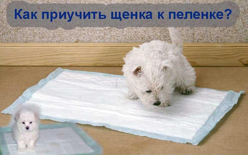 Как приучить собаку ходить в туалет на пеленку