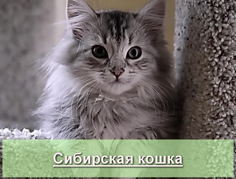 Колор-пойнт(невская маскарадная)