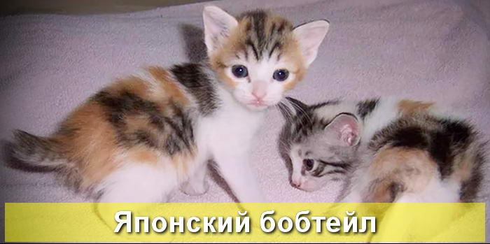котята японского бобтейла