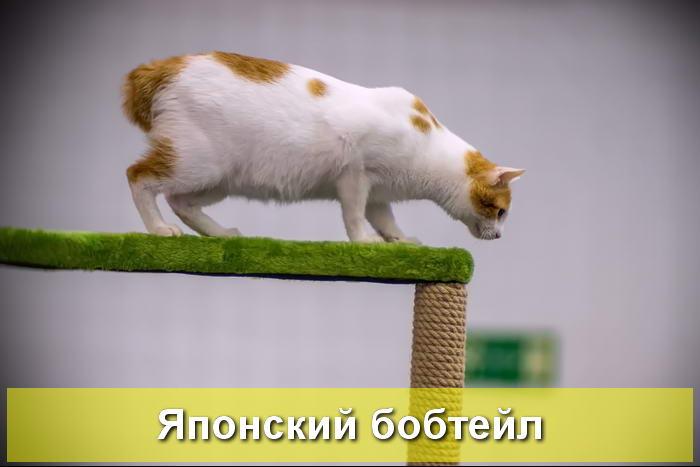 кошка японский бобтейл