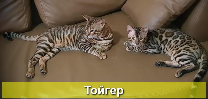 кошки тойгер