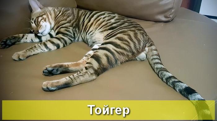 кот похожий на тигра
